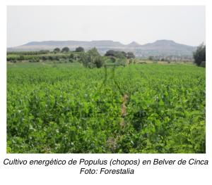 Cultivo energético de Populus (chopos) en Belver de Cinca Foto: Forestalia