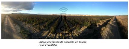 Cultivo energético de eucalipto en Tauste Foto: Forestalia